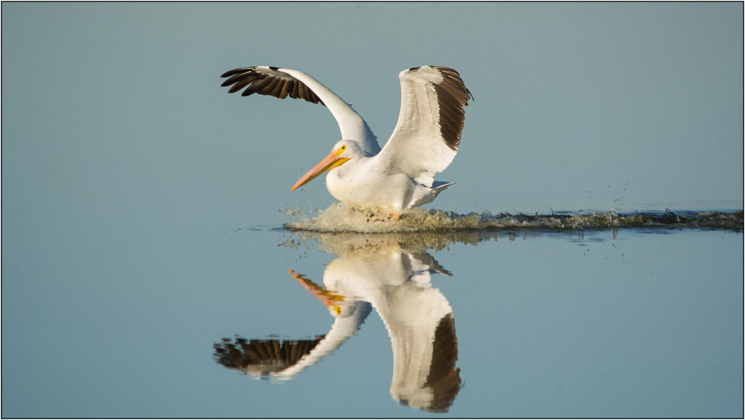 Stock photo of an American White Pelican